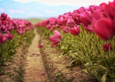 Tulip fields in the Skagit Valley of Washington state.