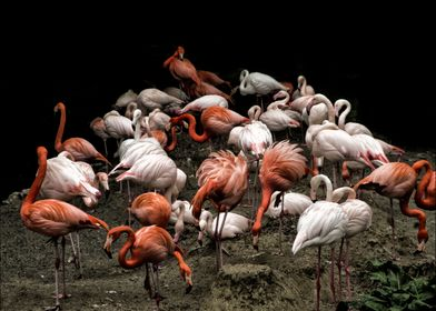 A group of flamingos at the Hellabrunn Zoo in Munich, G ...