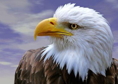 Bald Eagle Portrait. Animal, Eagle, Bird,