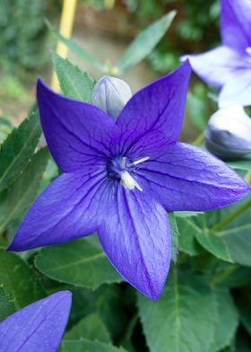 A macro take of an indigo flower