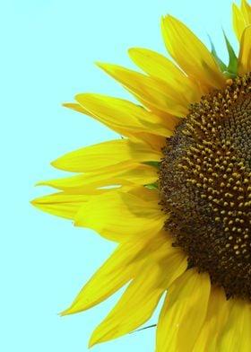 """"""" Sunflower Mint """""""