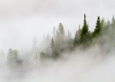 Fir trees sprouting from the fog in Cluozza Valley in t ...