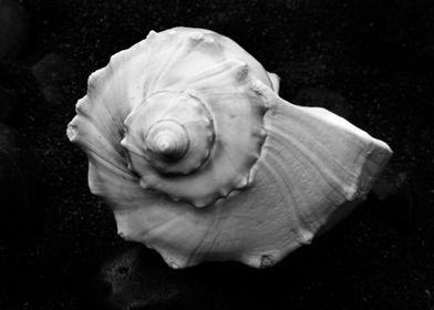Shell No.6, a black and white fine art print of a shell ...