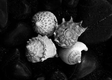 Shell No.5, a black and white fine art print of a shell ...