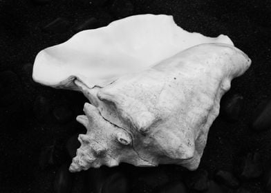 Shell No.4, a black and white fine art print of a shell ...