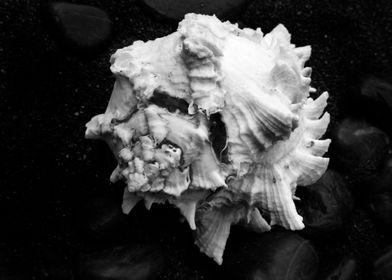 Shell No.1, a black and white fine art print of a shell ...