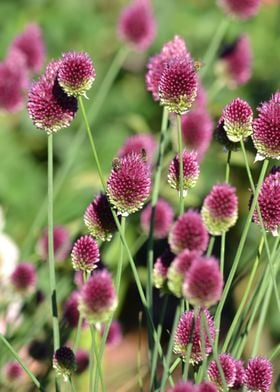 Pink clover flowers in summer photography