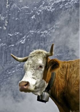 """""""Eiger Cow"""" The background is the Eiger North Face."""