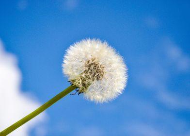 Dandelion against the sky