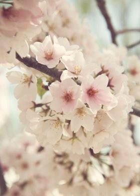 """""""Divinity"""" - Loaded Cherry Blossoms at the National Che ..."""