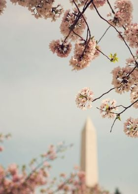 """Spring in DC"" - Cherry Blossoms from the National Cher ..."
