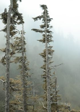 Windswept Trees on a Foggy Morning - Taken at Mt. Raini ...