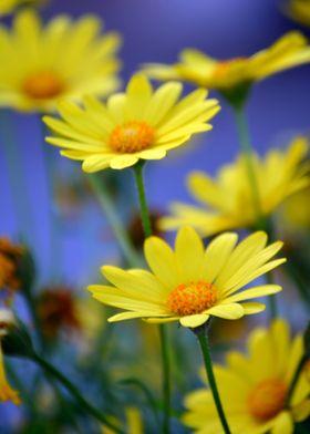 Yellow Daisies Blues