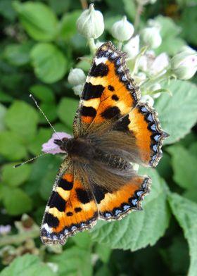 A Small Tortoiseshell butterfly. Aglais urticae. Taken  ...