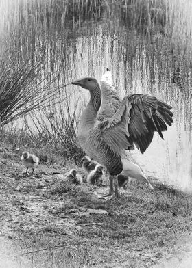 Greylag Goose and her brood. At Minsmere RSPB site in S ...