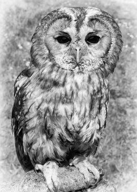 A Tawney Owl