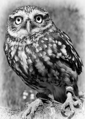 Little Owl. Suffolk UK