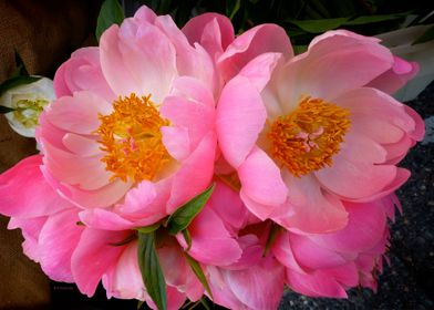 Closeup of two massive pink peony blossoms photographed ...
