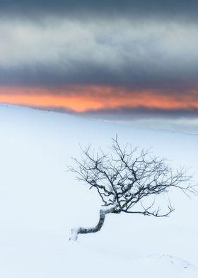 Twisted tree in winter landscape