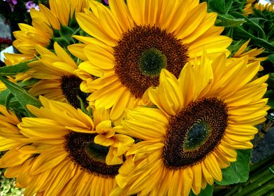 Three Sunny Faces. Cluster of miniature sunflower bloss ...