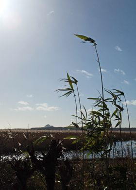 Reeds in the wind at Minsmere RSPB site, Suffolk, UK