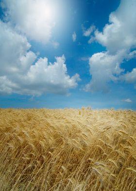 Summertime (Sunny sky over ripe crop)