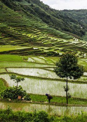 Rice Terrace III