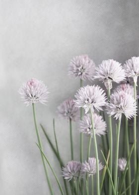 Lavender Chive Blossoms on Gray