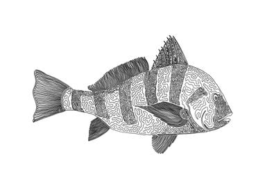 black drum, one liner The line starts in its eye and e ...