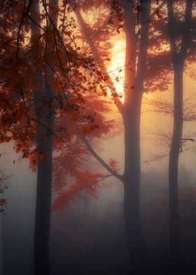 Sun rising on a foggy November morning in a german beec ...