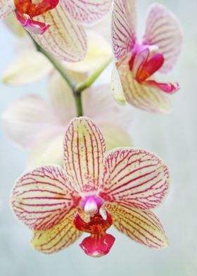 Pink and white orchids