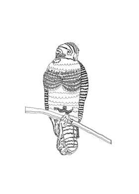 Harold the Hawk. Created for a friend of mine as a gif ...
