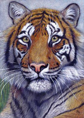 Tiger portrait CC118