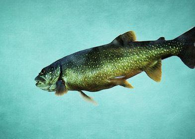 Trout on Aqua Blue