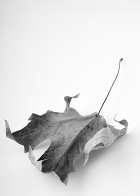 Black and white image of a dry maple leaf by fine art p ...