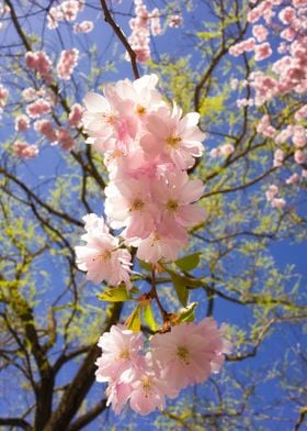 Cherry blossom - pretty pink blooms on a tree with blue ...