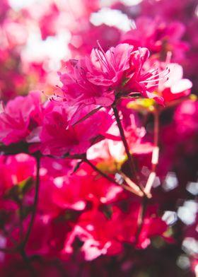 Red Azaleas in Spring