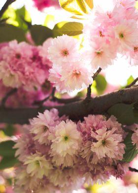Sakura Flowers in the Sun