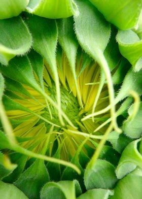 Naissance of a Sunflower
