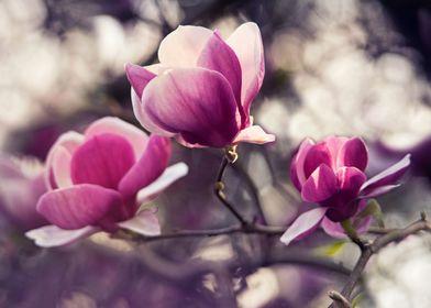 Dark pink magnolia