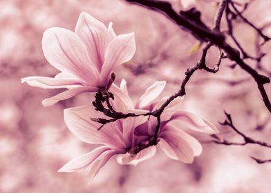 Spring impression with pink magnolias
