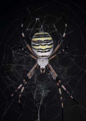 Golden Banded Garden Spider