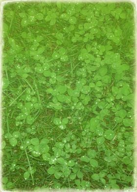 Clovers after the Rain
