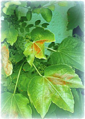 Mediterranean Ivy