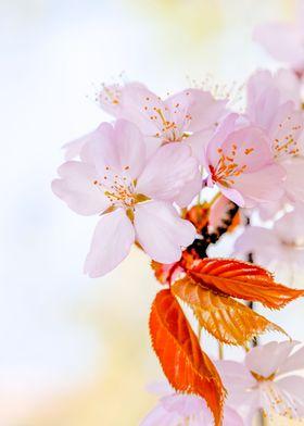 Japanese Cherry flowers