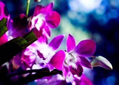 Celestial Orchids