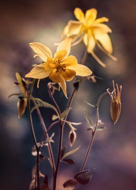 Yellow Columbine Flowers