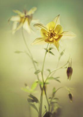 Fresh Yellow Columbine Flowers