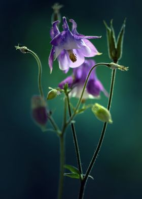 Dark violet Columbines Flowers