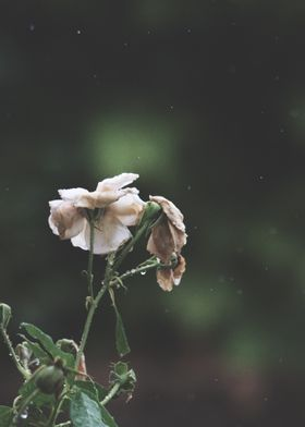 Dying Flower in the rain
